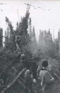 Building a fort with spruce trees 1964