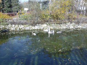 duck pond in the zoo